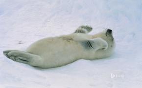 Picture snow, seal, cub, Arctic