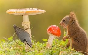 Picture grass, nature, animal, bird, mushrooms, protein, Amanita, nuthatch