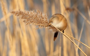 Picture grass, bird, branch, panicle, bearded Tits
