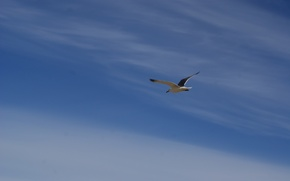 Picture the sky, flight, wings, Seagull