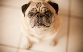 Picture each, dog, pug