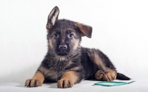Picture puppy, ears, funny, German shepherd