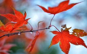 Picture autumn, leaves, drops, glare, branch, red, maple
