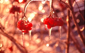 Picture macro, Kalina, ice, winter, al, glare, berries, icicles, Shine