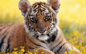 Picture grass, Park, Tiger