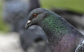 Picture nature, Bird, pigeons, animals, birds