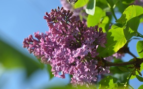 Picture flower, purple, lilac, spring, Lilac