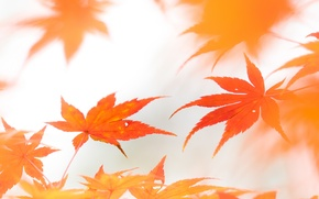 Picture autumn, leaves, Wallpaper, maple
