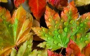 Wallpaper color, sheet, maple, Rosa, autumn, drops