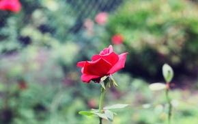 Picture greens, flowers, background, widescreen, Wallpaper, pink, rose, blur, petals, stem, wallpaper, flowers, widescreen, background, full …