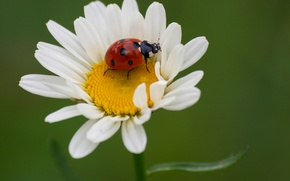 Picture petals, beetle, insect, nature, ladybug, Daisy, flower