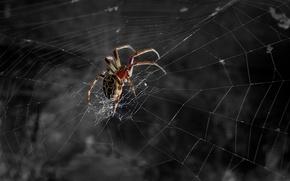 Wallpaper black and white, Spider, web