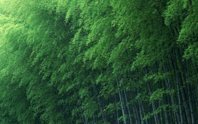 Wallpaper bamboo, trees, green