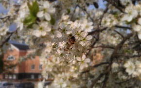 Picture bee, Flowers, spring, flowering trees