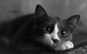 Picture cat, cats, mood, cat, murlen, mourlin