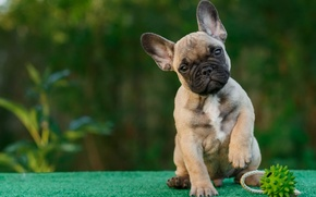 Wallpaper toy, puppy, French bulldog
