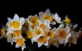 Picture flowers, background, black, daffodils