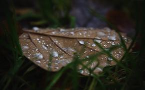 Picture autumn, grass, drops, macro, sheet, Russia, macro, oak, dobraatebe