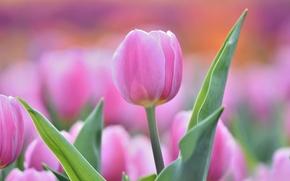 Wallpaper tenderness, Tulip, Bud, pink