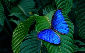 Wallpaper wings, background, butterfly, insect, blue, green, leaves