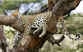 Picture tree, sleep, leopard, convenient