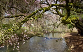 Picture branches, Park, stream, tree, spring, flowering
