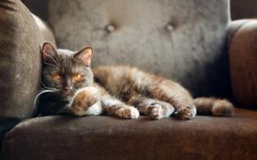 Picture cat, cat, chair, looks, British cat, british shorthair