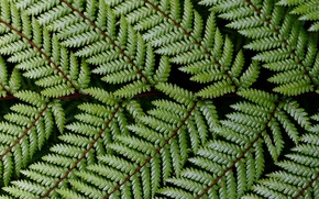 Picture Nature, Fern, Rastane