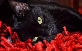 Picture cat, look, Koshak, lies, looks, Tomcat