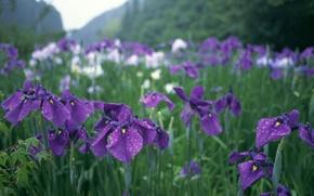 Picture greens, drops, flowers, rain, Japan, garden, purple, irises