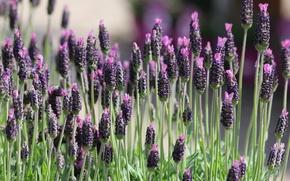 Picture field, macro, plant, meadow, lavender
