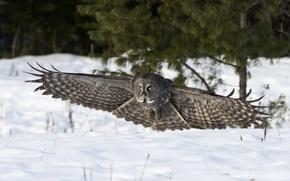 Picture winter, snow, nature, owl, bird, wings, landing