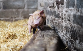 Wallpaper look, background, pig