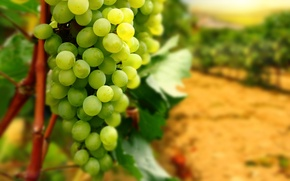 Picture leaves, branches, grapes, bunch, vineyard