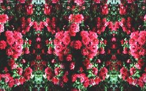 Picture flowers, roses, beauty, plants, garden