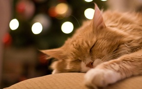 Picture cat, stay, sleep, red, sleeping, lies, pet