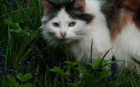 Picture cat, summer, grass, tri-color, odd-eyed