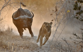 Picture chase, Africa, lioness, bull