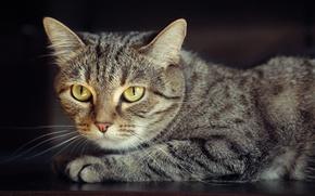 Picture cat, Wallpaper, portrait