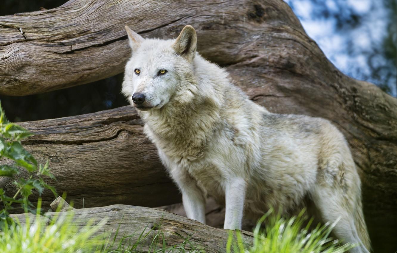 Photo wallpaper grass, look, wolf, predator, snag, ©Tambako The Jaguar