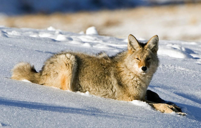 Photo wallpaper winter, snow, wolf, lies, coyote