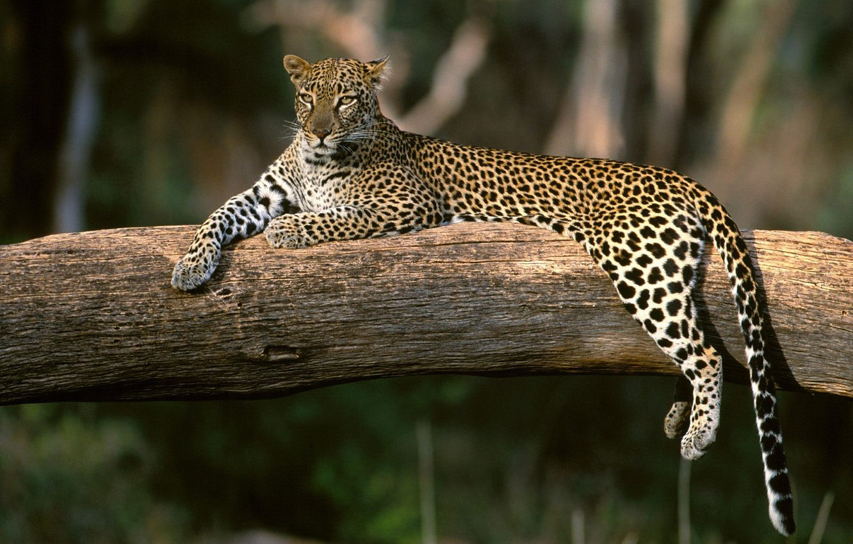 Photo wallpaper stay, Leopard, branch