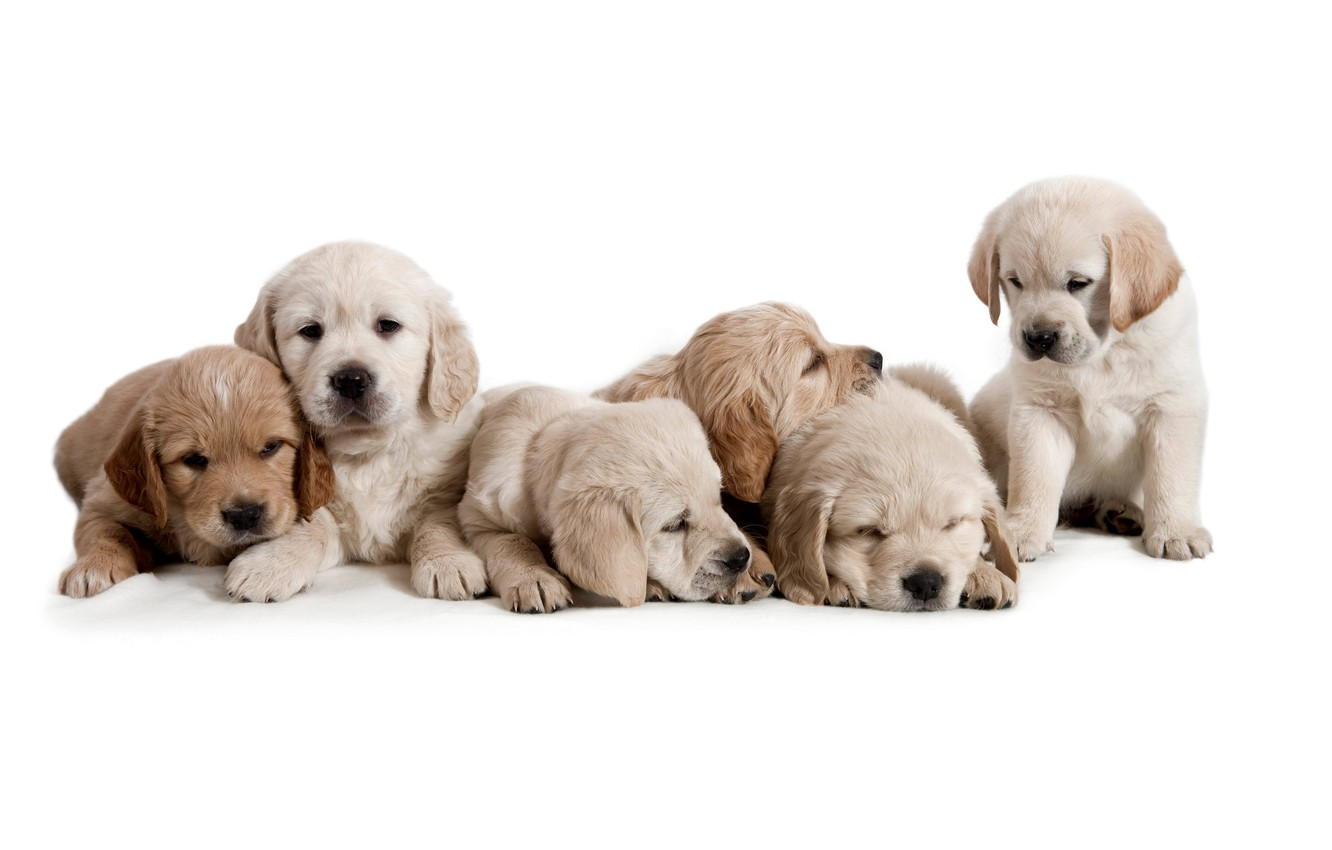 Photo wallpaper dogs, puppies, white background, cubs