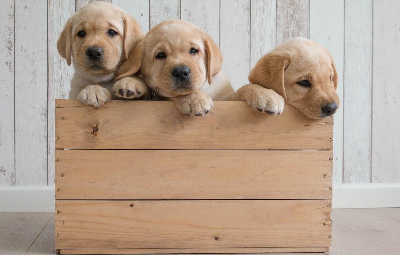 Photo wallpaper dogs, puppies, box, trio, Golden Retriever, Golden Retriever, Trinity
