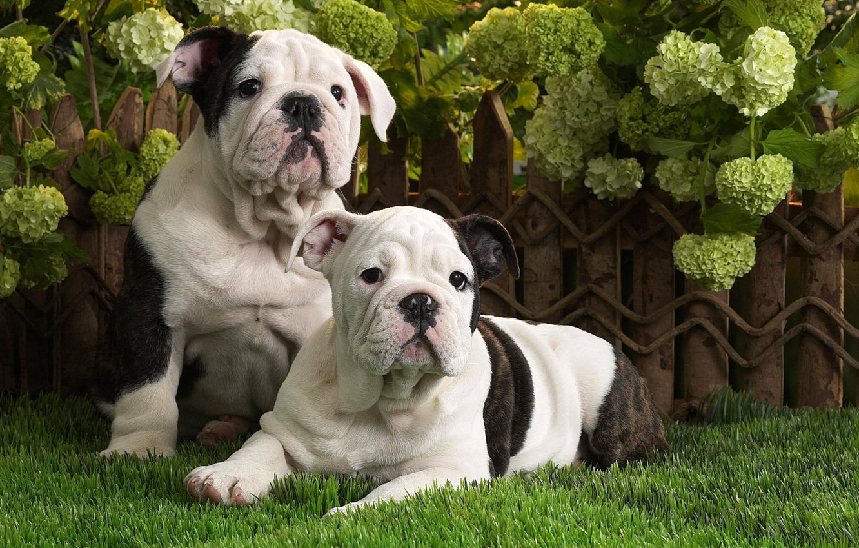 Photo wallpaper dogs, grass, puppies, English bulldog