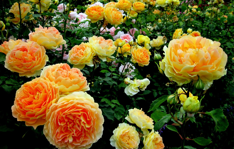 Photo wallpaper roses, Flowers, garden