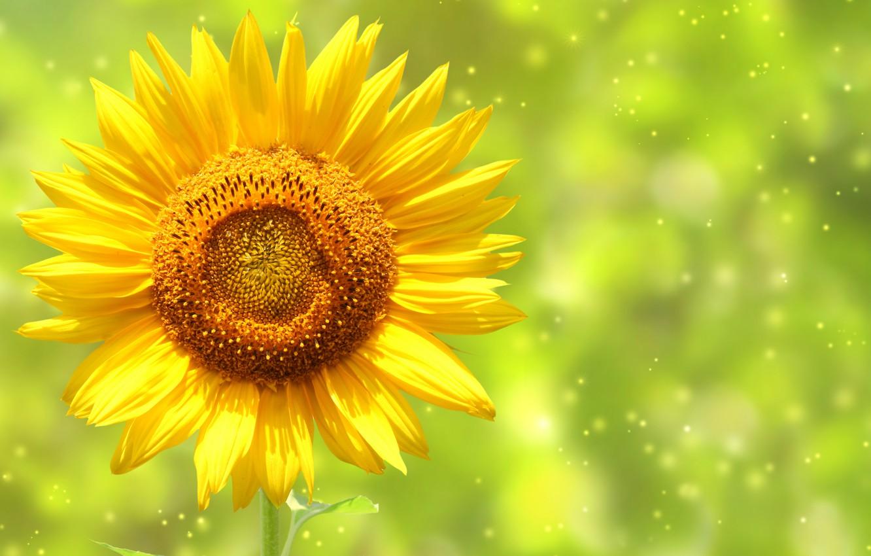 Photo wallpaper sunflower, petals, stem, bokeh