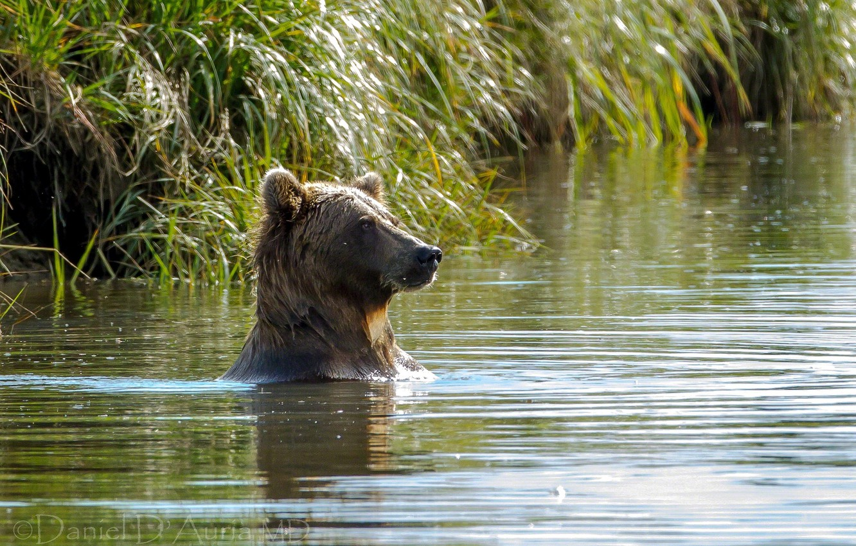 Photo wallpaper water, lake, bear, bathing