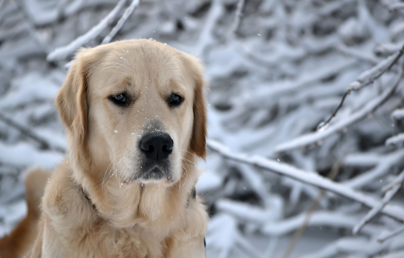 Photo wallpaper winter, forest, eyes, face, snow, snowflakes, nature, dog, head, nose, dog, breed, Retriever