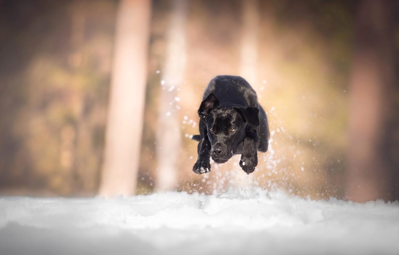 Photo wallpaper snow, dog, running